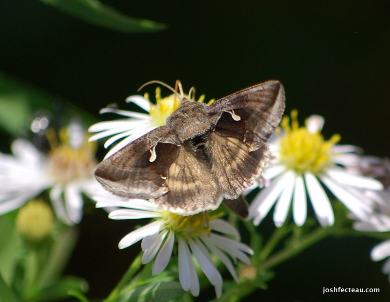 Photo of Celery Looper Moth