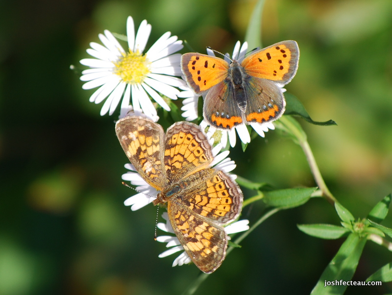 Photo of Pearl Crescent and American Copper