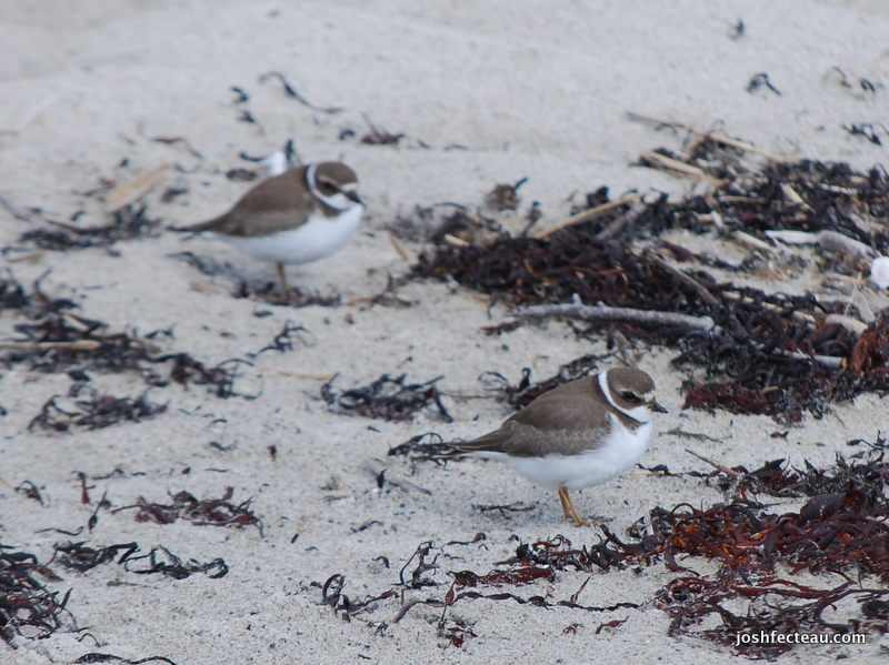 Photo of Semi-palmated Plover