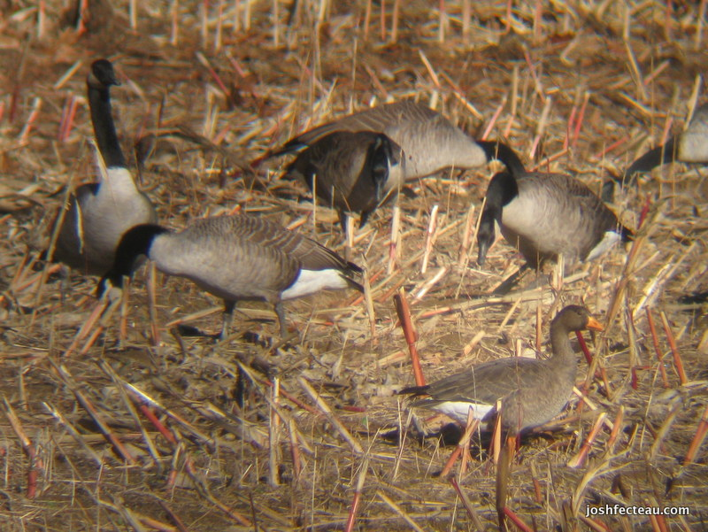 Photo of Greater White-fronted Goose