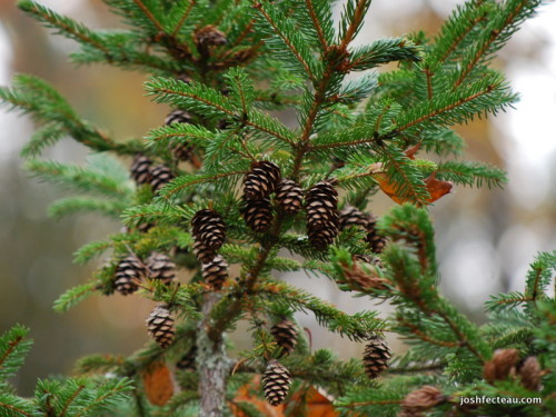 Photo of Spruce tree