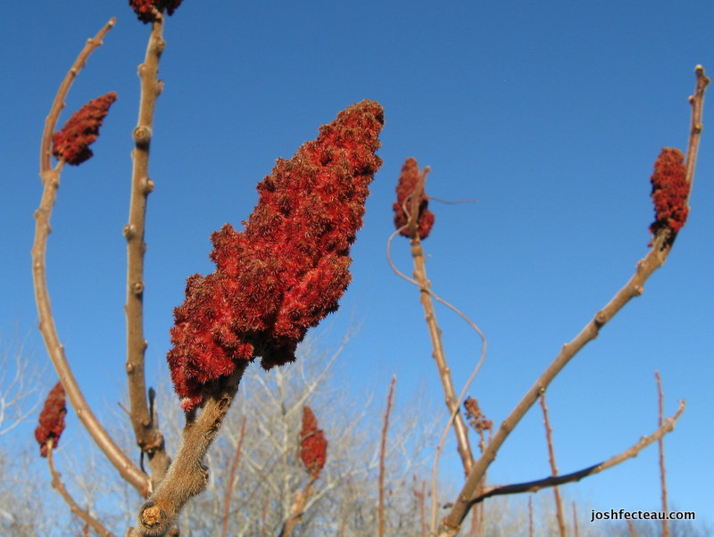 Photo of Staghorn Sumac