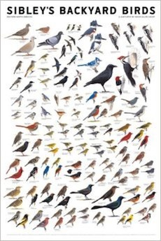 Sibley Poster: Backyard Birds (East)