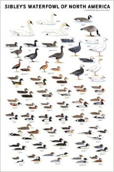 Sibley Poster: Waterfowl