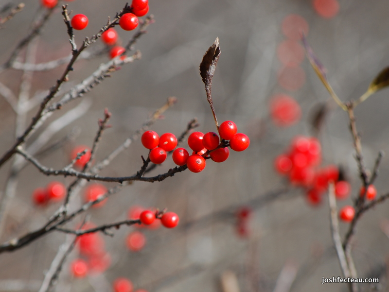 Photo of Winterberry sp.