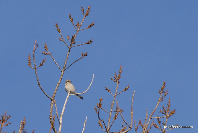 Photo of Northern Shrike
