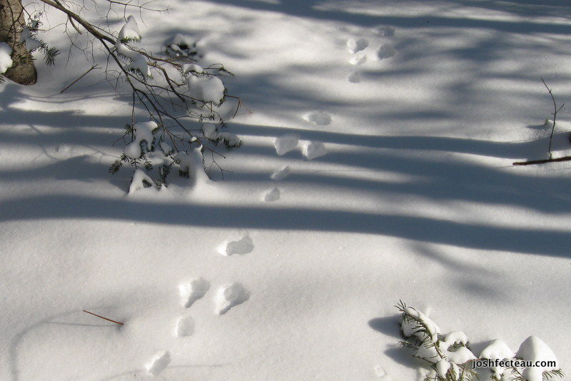 Photo of Snowshoe Hare trail