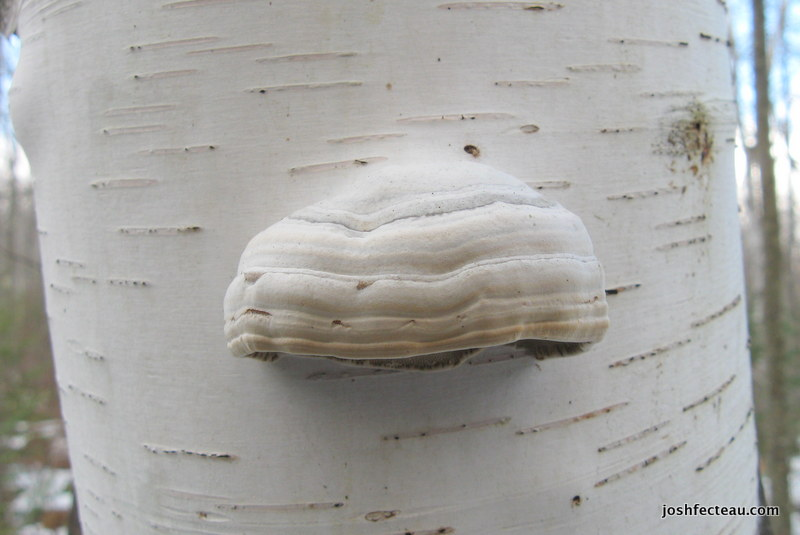 Photo of Tinder Conk on Paper Birch