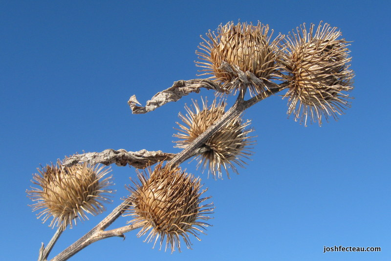 Photo of Common Burdock