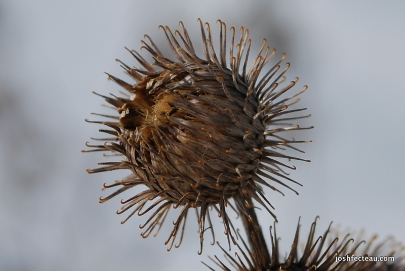 Photo of Common Burdock close