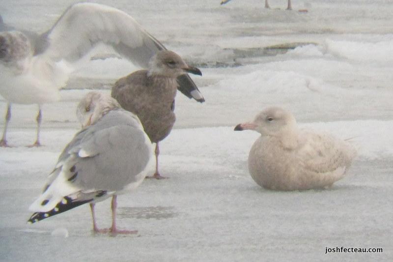 Photo of Glaucous Gull (immature)