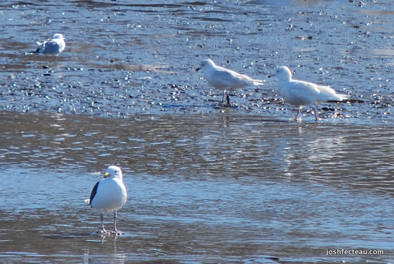 Photo of Glaucous Gull and Iceland Gull