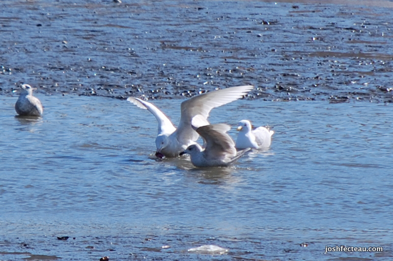Photo of Glaucous Gull and Iceland Gull wings