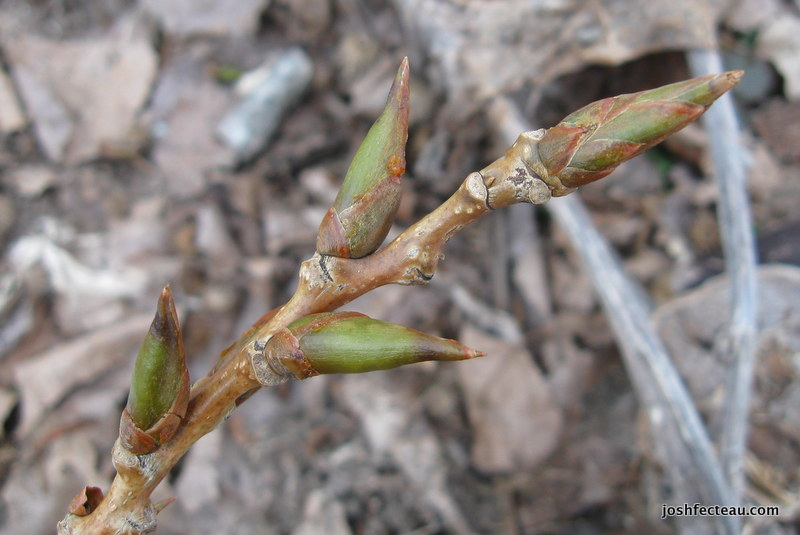 Photo of Necklace Poplar buds