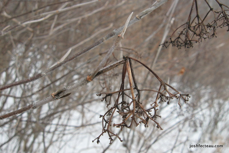 Photo of Withe-rod winter twig