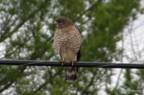 Snip of Broad-winged Hawk