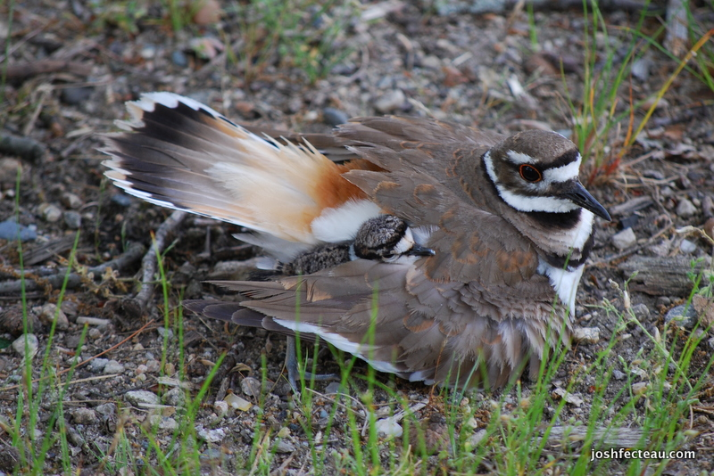 Photo of Killdeer with immature