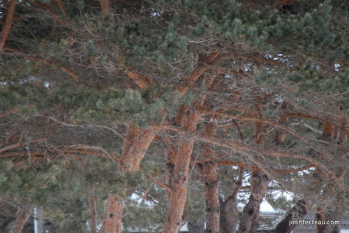 Photo of Scotch Pine bark