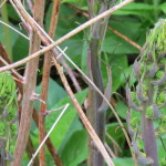 Photo of Carrion-flower shoots