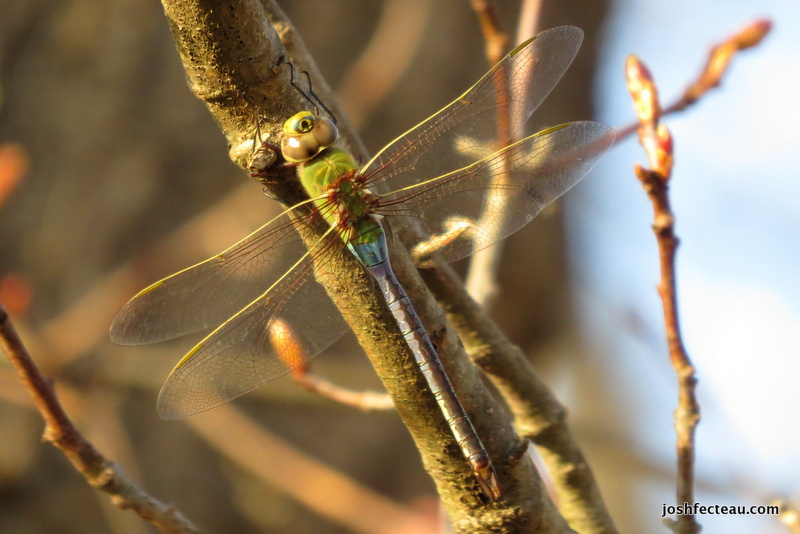 Photo of Common Green Darner (female)