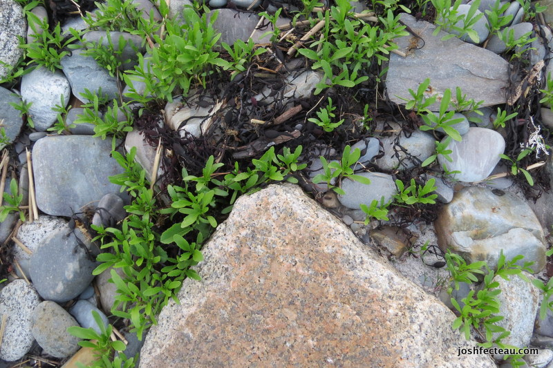 Photo of American Sea-rocket (Cakile edentula) sprouts
