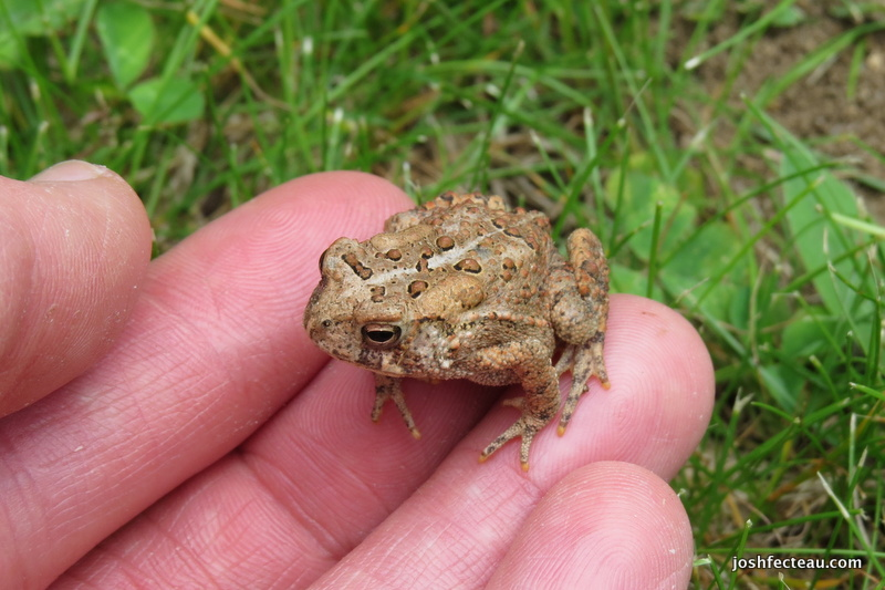 Photo of American Toad on my fingers