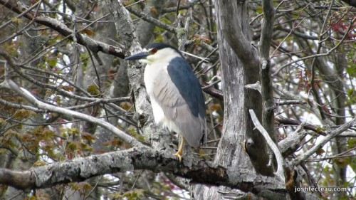 Snapshot of Black-crowned Night-heron