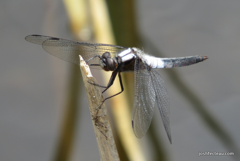 Photo of Chalk-fronted Corporal (Ladona julia)