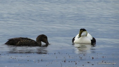 Snapshot of Common Eider