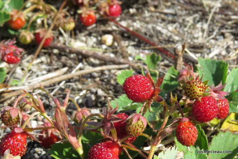 Photo of Common Strawberries
