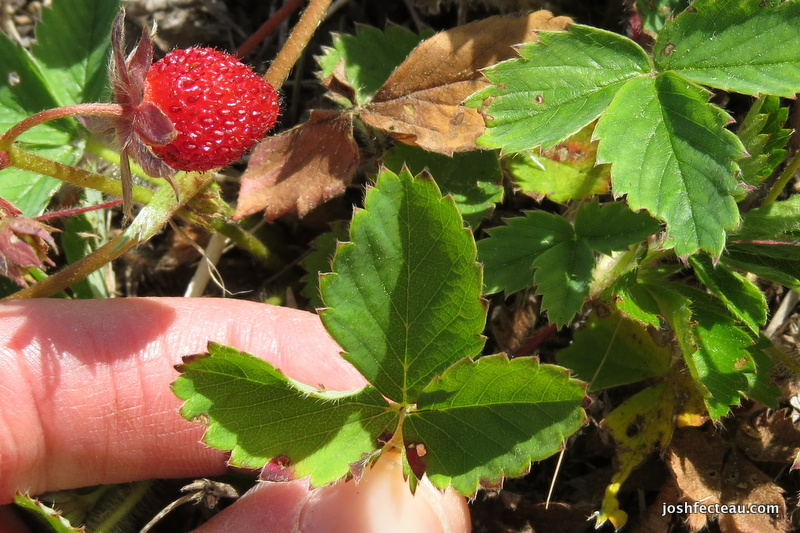 Photo of Common Strawberry leaf