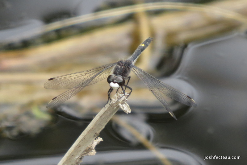 Photo of Dot-tailed Whiteface (Leucorrhinia intacta)