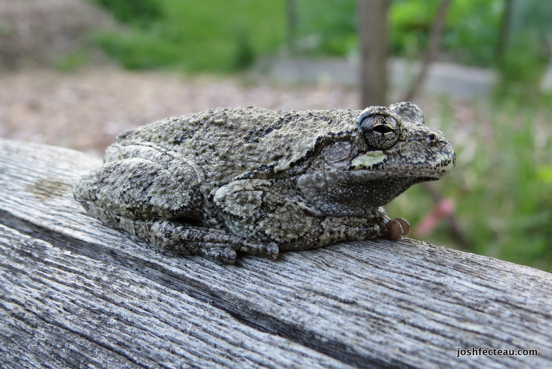 Photo of Gray Treefrog (Hyla versicolor)