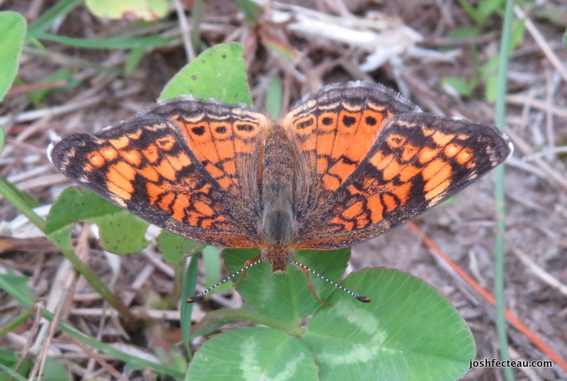 Photo of Pearl Crescent face