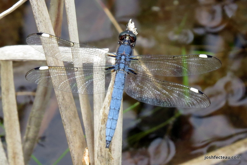Photo of Spangled Skimmer (Libellula cyanea)