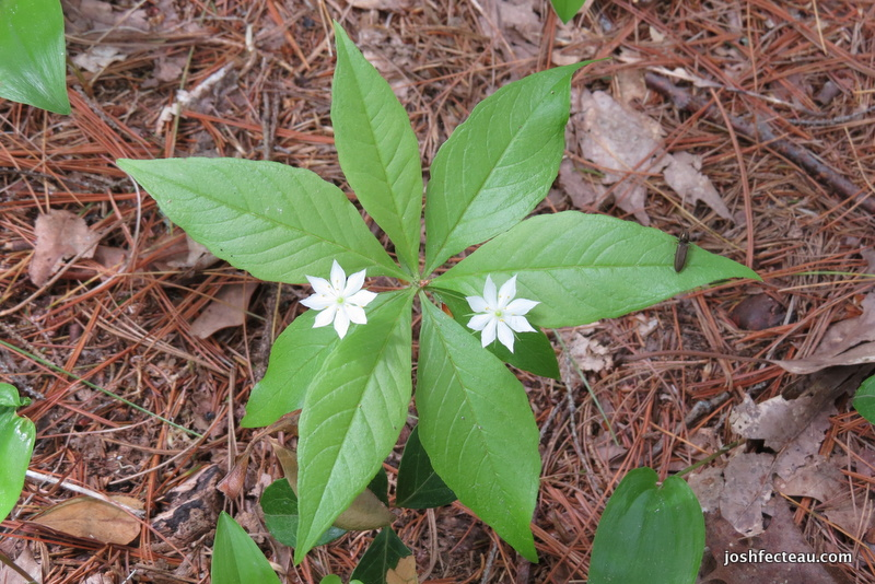 Photo of Starflower (Lysimachia borealis)