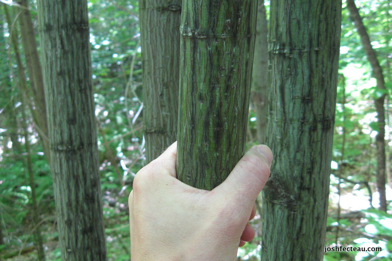 Photo of Striped Maple (Acer pensylvanicum) bark