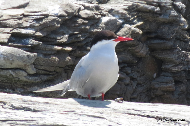 Photo of Arctic Tern
