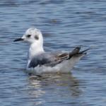 Photo of Bonaparte's Gull immature