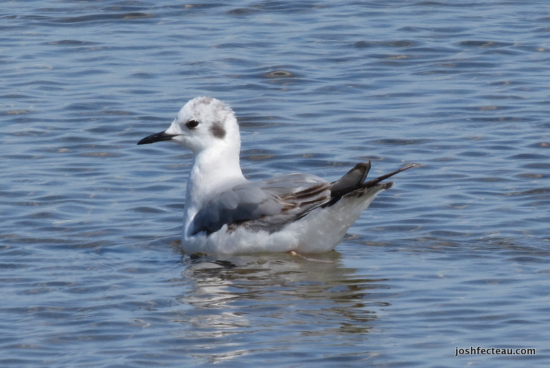 Photo of Bonaparte's Gull immature