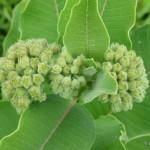 Photo of Common Milkweed (Asclepias syriaca) flower buds