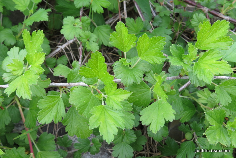 Photo of Hairy-stemmed Gooseberry leaves
