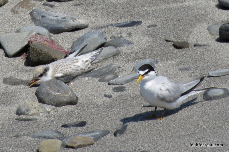Photo of Least Terns