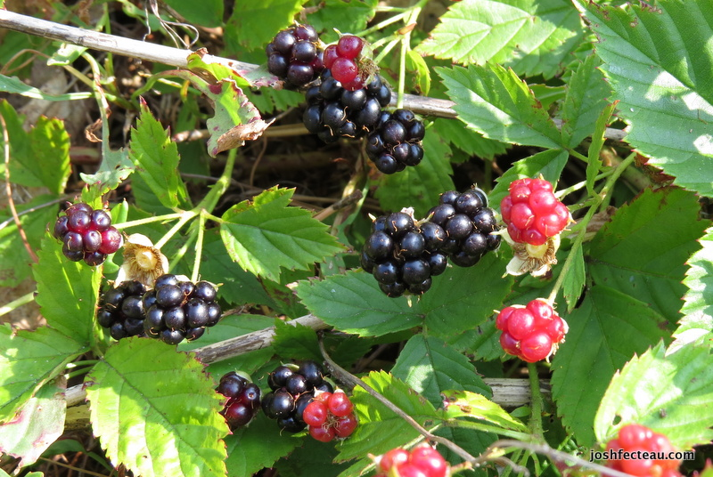 Photo of Northern Blackberry patch