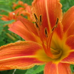 Photo of Orange Day-lily