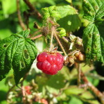 Photo of Red Raspberry