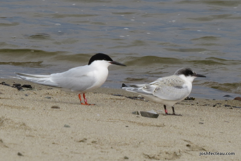 Photo of Roseate Terns