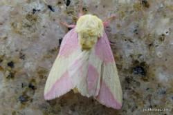 Photo of Rose Maple Moth