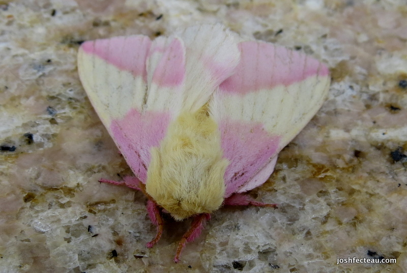 Photo of Rose Maple Moth