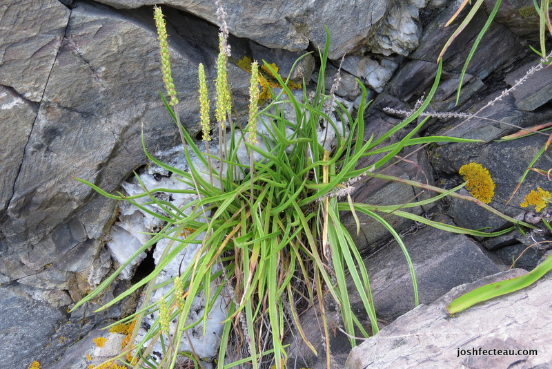 Photo of Seaside Plantain (Plantago maritima) flowering